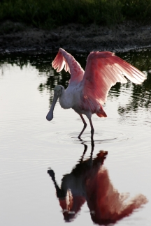 Roseate Spoonbill, Wings Spread