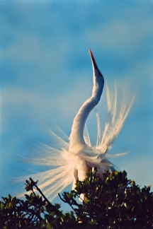 Wedding Dance of the Egret