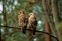 Pair of Red-Winged Hawks