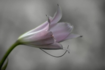 Delicate Pink Lily