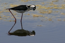 Black Necked Stilt, Grooming